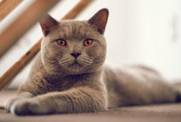 La race des British Shorthair