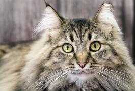 Origines du main coon